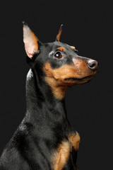 Miniature Pinscher puppy, 6 months old