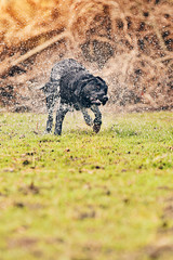 Black Labrador Shaking Water