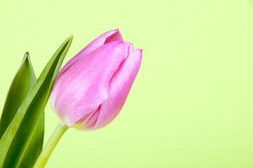 Rosa Tulpe stehend