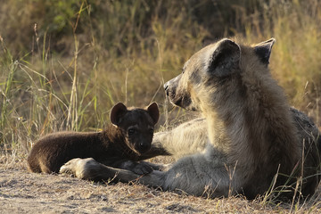 Hyena pup and mother