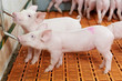 Leinwanddruck Bild - young drinking piglet at pig farm