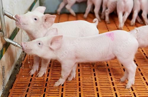 Leinwanddruck Bild young drinking piglet at pig farm
