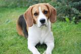 Fototapeta ogród - Beagle - Zwierzę domowe
