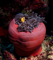 Clown Fish in the red anemone, Red Sea.