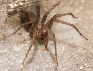 Funnel Web Weaver Grass Spider out on his funnel web
