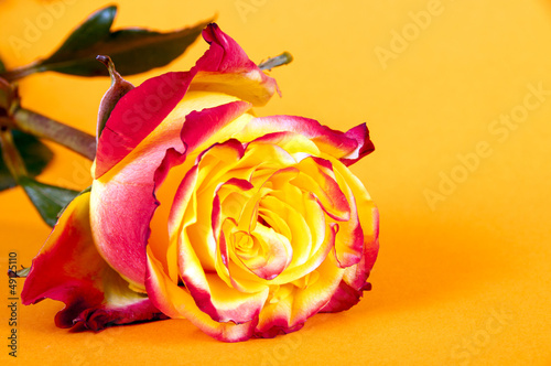 Orange Rose liegend