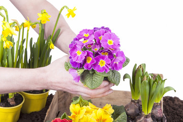 Studioaufnahme- Gartenarbeit - Frühlingsblumen einpflanzen