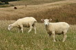 two sheared sheep grazing