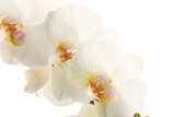 Fototapeta biały - rocznica - Kwiat