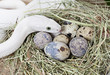 Texas rat snake on a clutch of eggs
