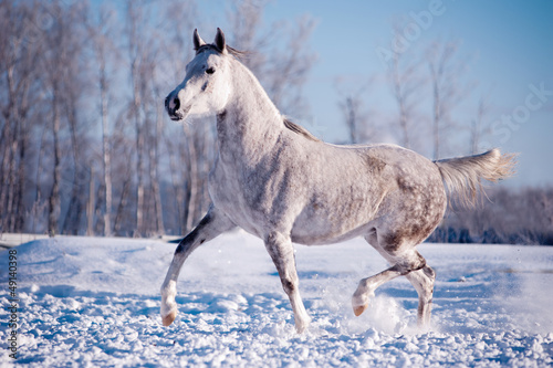 free white horse on winter background
