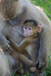 Baby Baboon breast feeding