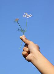 Hand holding Coriander flower against blue sky
