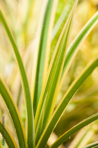Pandanus green and yellow variegated thorny leaves