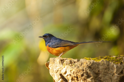 White-rumped Shama on the rock,thailand