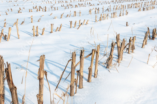 Closeup of maize stubbles in snow