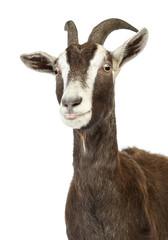 Close-up of a Toggenburg goat