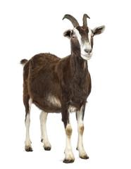 Toggenburg goat looking away