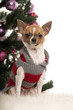 Chihuahua dressed and sitting in front of Christmas decorations