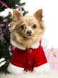 Chihuahua sitting and wearing a Christmas suit