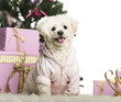 Bichon Frisé sitting in front of Christmas decorations