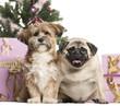 French Bulldog and crossbreed sitting