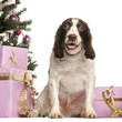 French Spaniel sitting in front of Christmas decorations