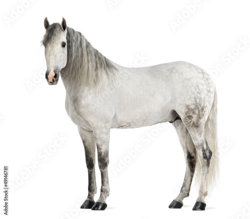 Male Andalusian, 7 years old