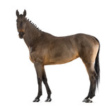 Female Belgian Warmblood, BWP, 4 years old, with mane braided poster