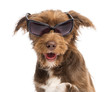 Close-up of a Crossbreed, 5 months old, wearing sunglasses
