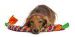 Dachshund, 4 years old, lying on dog toy