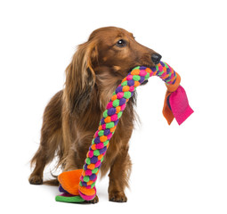 Dachshund, 4 years old, holding a dog toy in its mouth