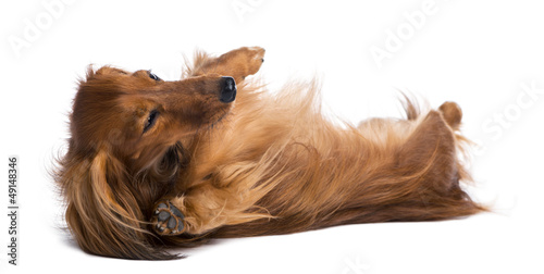 Dachshund, 4 years old, lying on its back