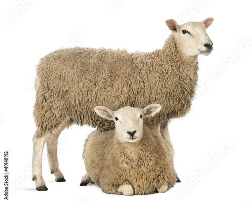 Deurstickers Schapen Sheep standing over another lying