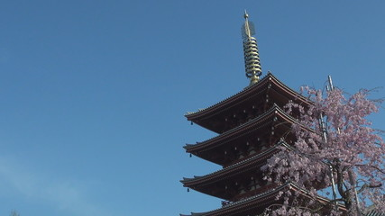 Sensoji Temple with Japanese cherry blossom, Tokyo