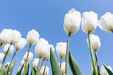 White tulips looking to the blue sky