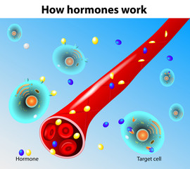 Hormones work. Vector