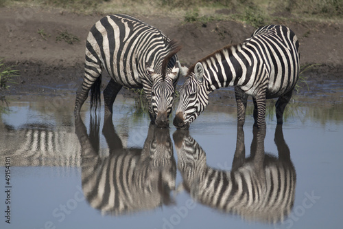 Two zebras drinking in mirror