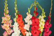 Beautiful colorful gladiolus on blue background close-up