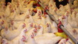 Chicken Farm, poultry production