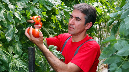 Commercial Production of Fresh Market Tomatoes