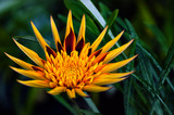 Apache Gazania - Decorative flower