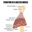 Structure of a skeletal muscle
