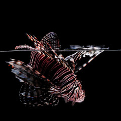 Lionfish on black background
