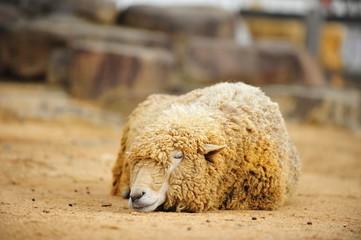 animal-sheep-002