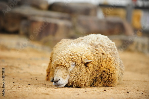 animal-sheep-002