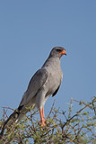 Close-up of Southern Pale Chanting Goshawk; Melierax canorus