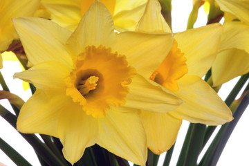 Golden yellow daffodils close-up.