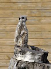Lone Meerkat