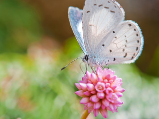 spring azure (Celastrina ladon) on spiny pink flower